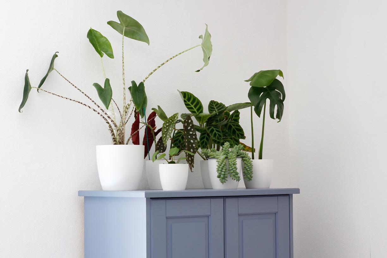 Verschillende groene kamerplanten op paarse kast