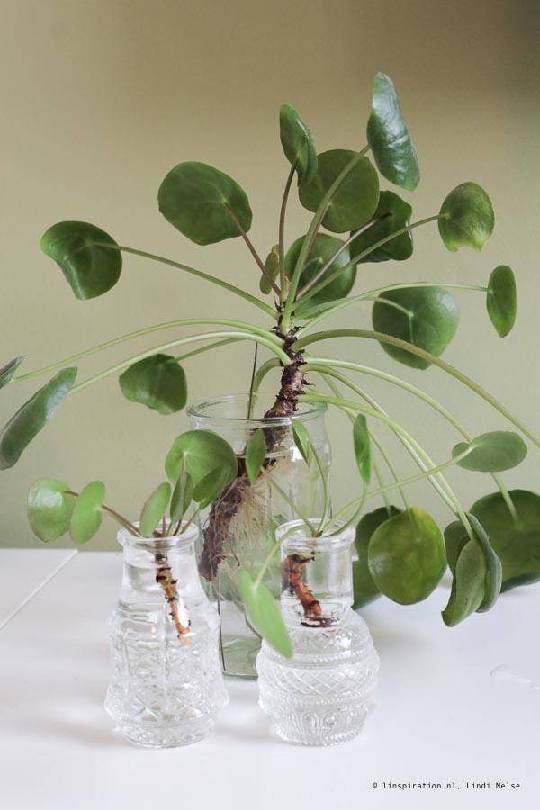 Zo kun je de pannenkoekenplant succesvol stekken!
