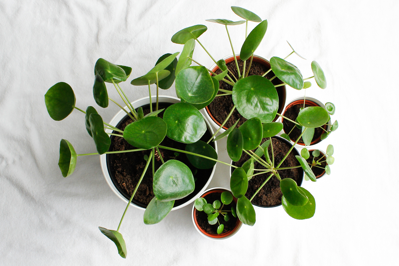 Pilea peperomioides stekken familie pannenkoekenplant en verzorgingstips
