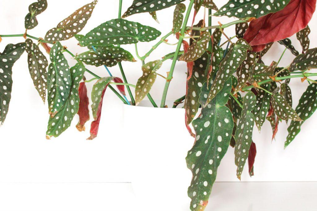 Een grote stippenplant, ook wel polkadot begonia genoemd