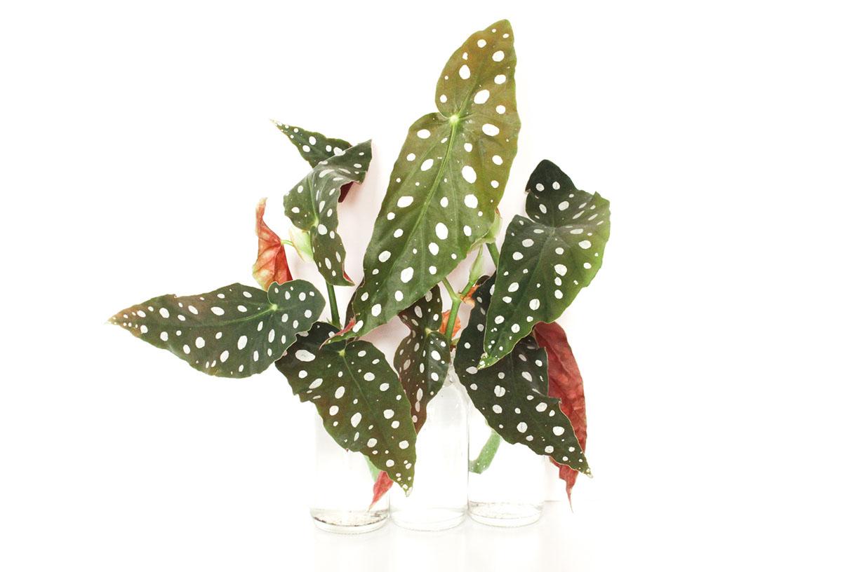 stippenplant stekjes in water