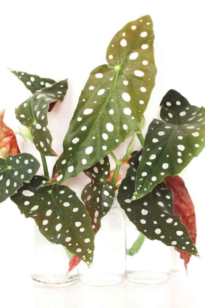Stekjes van de polkadot begonia