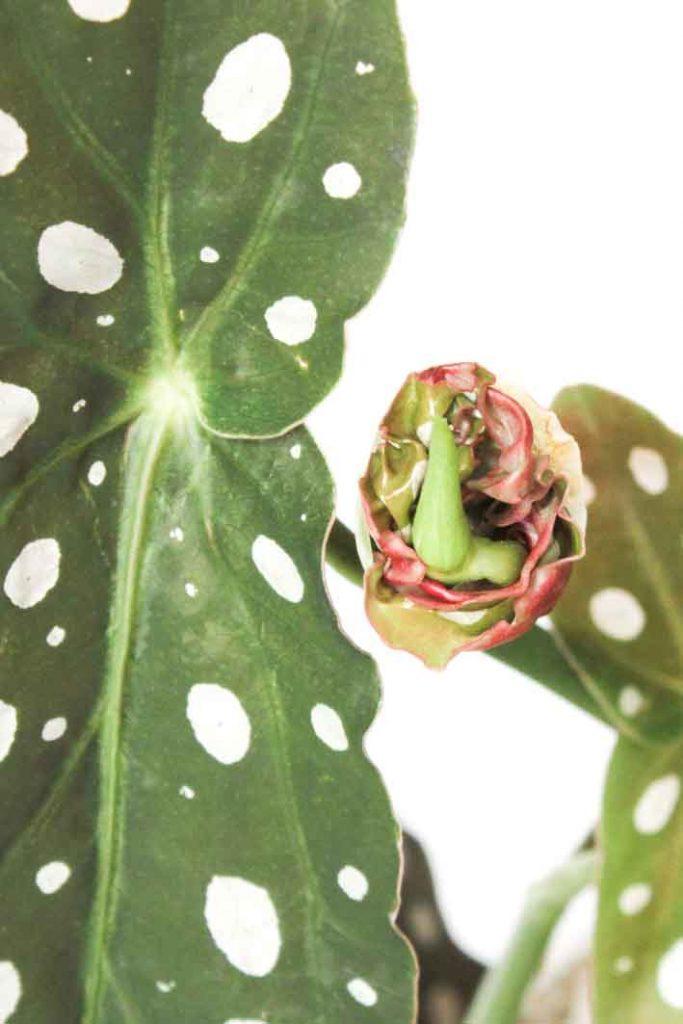 Het stekken van de polkadot begonia, ook wel stippenplant genoemd, is erg gemakkelijk. Ik laat je zien hoe je dit het beste kunt doen!