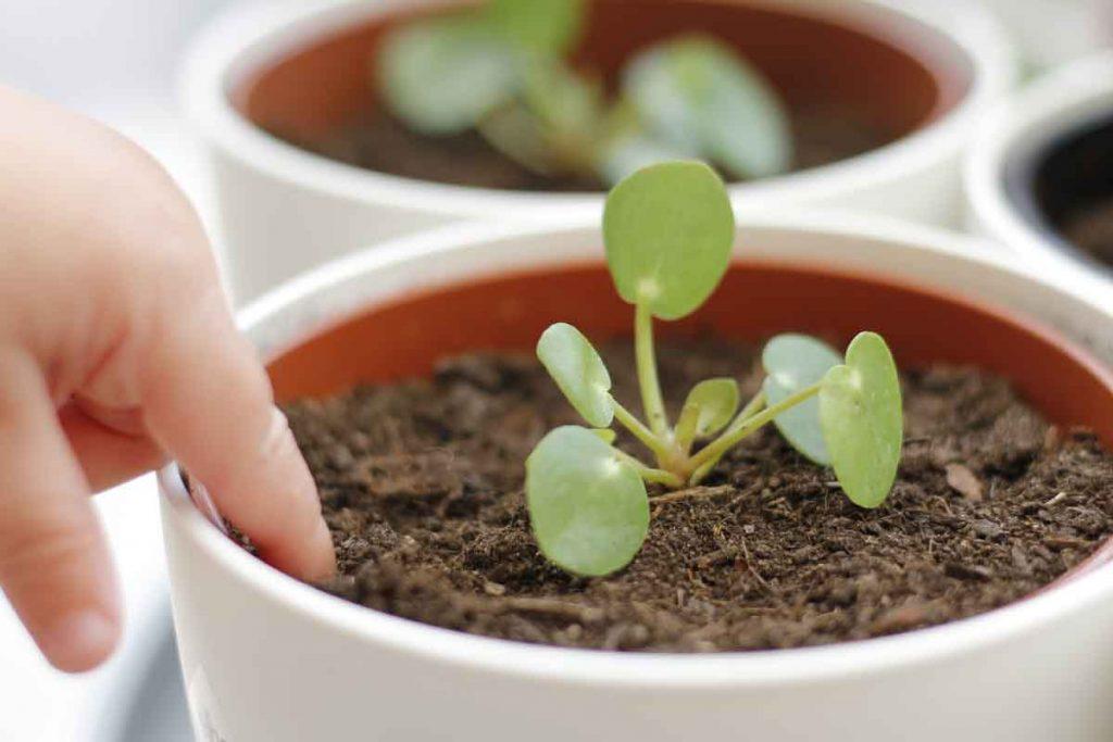 De pilea peperomioides stekken is leuk en gemakkelijk om te doen. Lees de verzorging en stek tips op mijn blog!