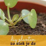 Stekken van de Pilea pannenkoekenplant is leuk en gemakkelijk om te doen