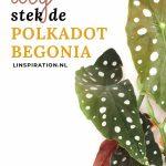 De stippenplant (polkadot begonia) stekken