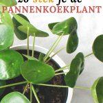 Zo kun je de pannenkoekenplant succesvol stekken
