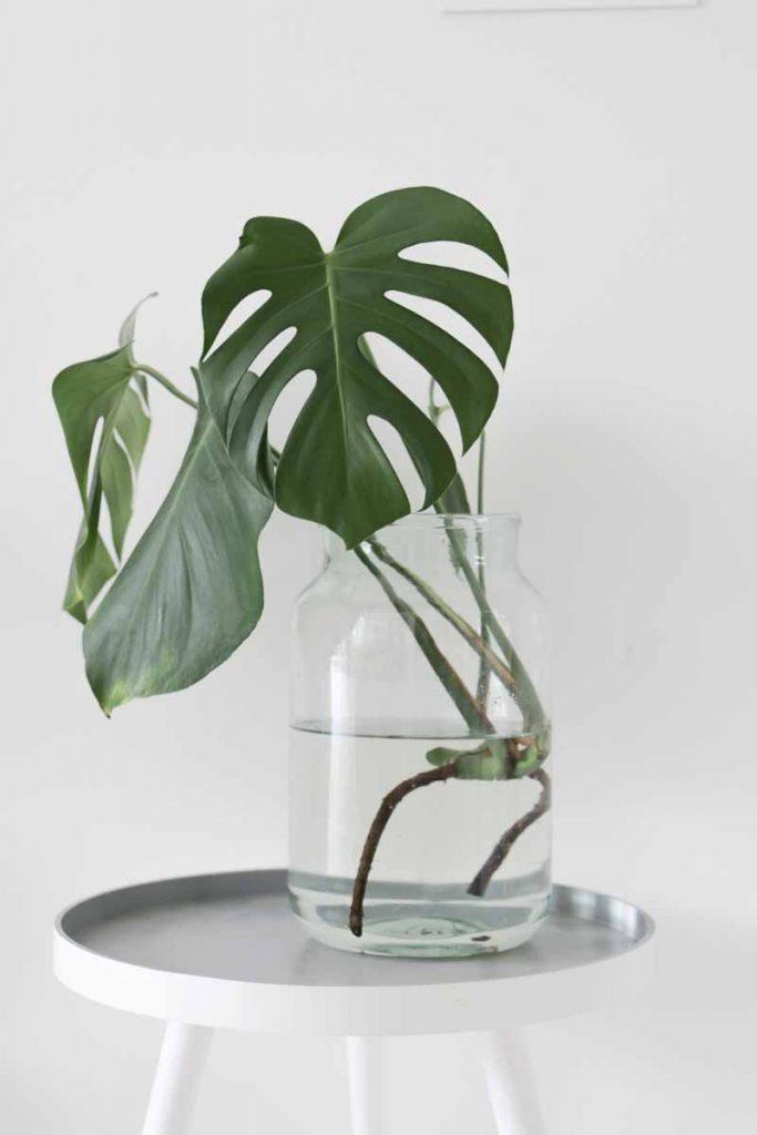 De Monstera deliciosa (gatenplant) kamerplant stekken