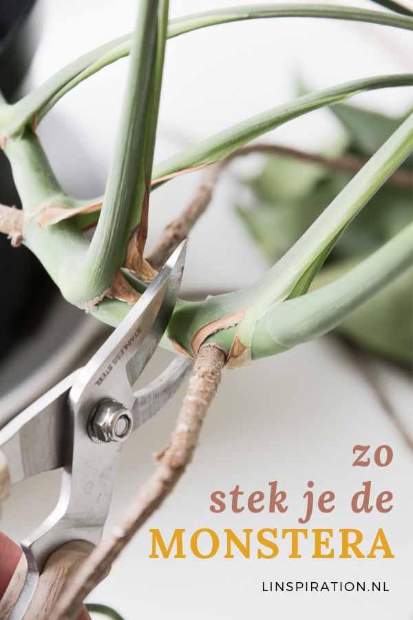 De populaire kamerplant: de gatenplant (Monstera deliciosa) is gemakkelijk te stekken!