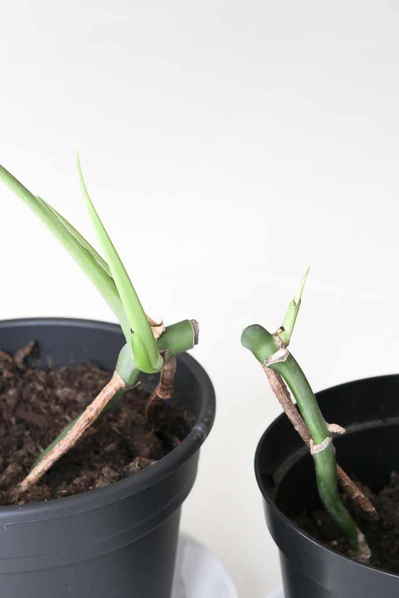 Snoeien van de Monstera (gatenplant)