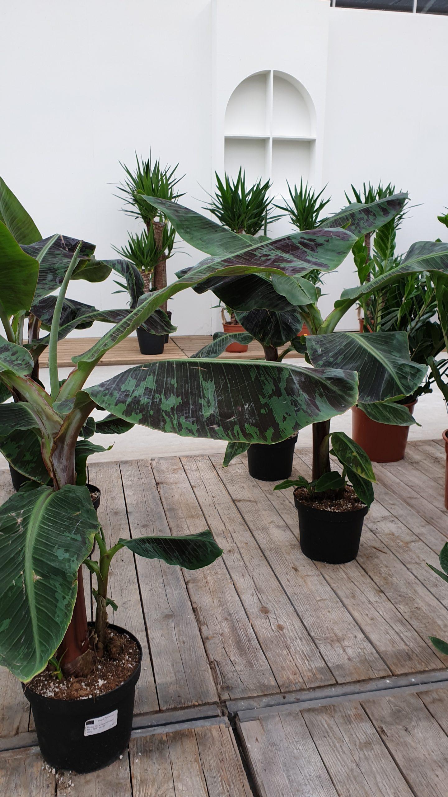 De bananenplant verzorgen