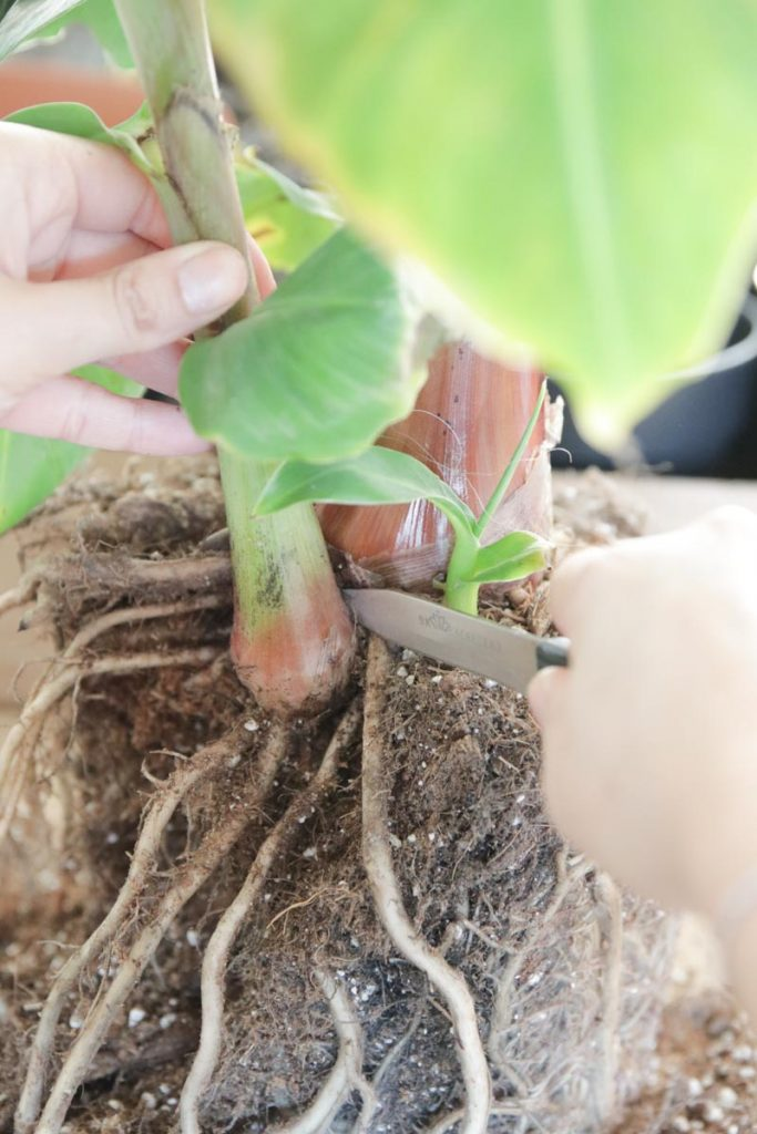 Stekjes van de bananenplant