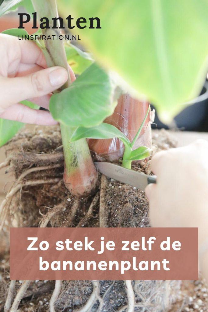Zo stek je zelf de bananenplant