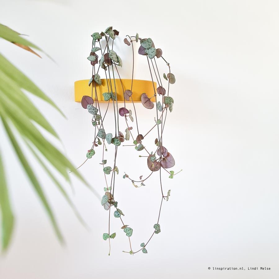 Chinees lantaarnplantje stekken